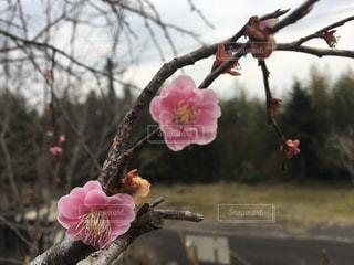 梅の写真・画像素材[390919]