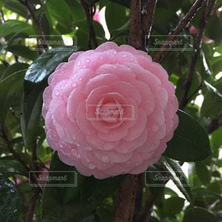 花の写真・画像素材[425853]