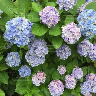 紫陽花の写真・画像素材[580984]
