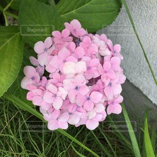 紫陽花の写真・画像素材[581046]