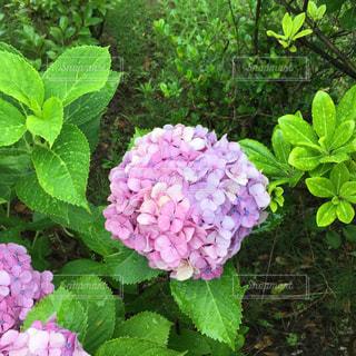 紫陽花の写真・画像素材[582571]