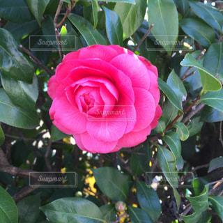 花の写真・画像素材[390660]