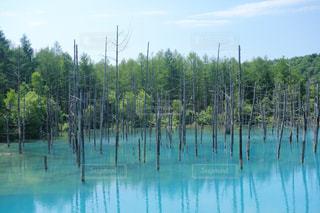 北海道 美瑛の青い池の写真・画像素材[1857457]