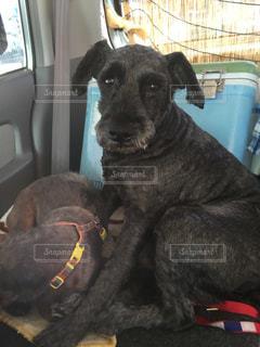 車の座席に座っている犬 - No.743204