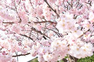 桜の写真・画像素材[391472]