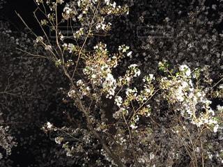 桜 - No.449024