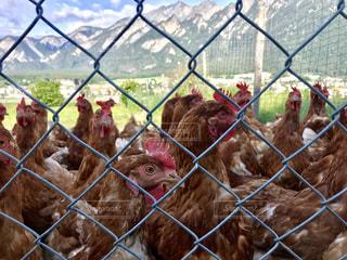 フェンス越しの鶏の写真・画像素材[2219600]