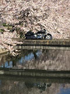 桜の写真・画像素材[448917]