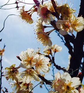 桜 - No.396882