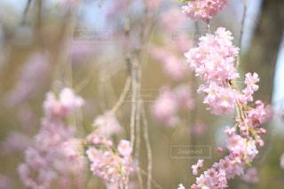 桜 - No.430059