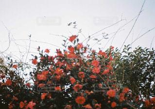 山茶花の写真・画像素材[1046257]