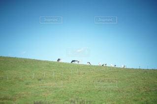 緑豊かな緑の草原に放牧牛の群れ - No.1046260