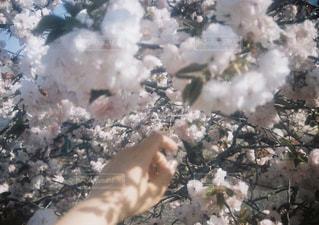 八重桜の写真・画像素材[2839559]
