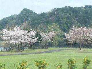 桜 春 自然 入学式の写真・画像素材[394459]