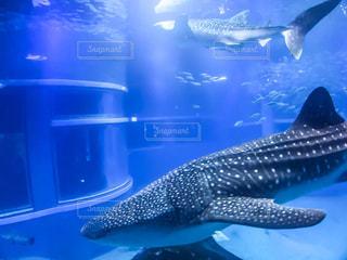 ジンベイザメの写真・画像素材[737739]