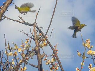 梅にウグイスでなくて、メジロだよd(^_^o)の写真・画像素材[1021036]