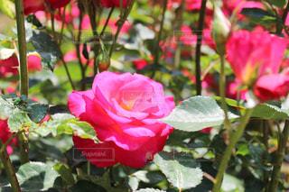 花の写真・画像素材[394894]