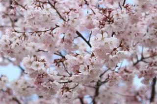 春の写真・画像素材[441564]