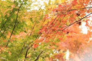 紅葉🍁の写真・画像素材[892105]