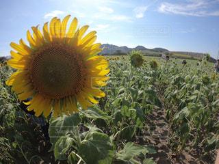 黄色の花の写真・画像素材[1305999]