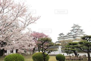 桜の写真・画像素材[2070957]