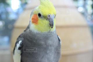 オウムの上に座っている小鳥の接写の写真・画像素材[2098965]