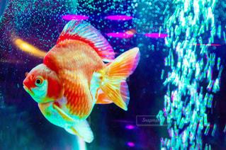 金魚 - No.873958