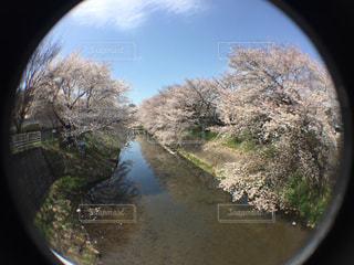 桜の写真・画像素材[1954661]
