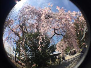 桜の写真・画像素材[1954668]