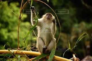 猿の写真・画像素材[398271]
