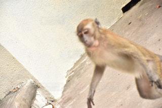 猿の写真・画像素材[398275]
