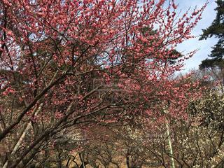 梅の木の写真・画像素材[1003431]