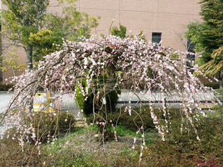 枝垂れ梅の写真・画像素材[401918]