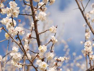 青空にほころんだ梅の花の写真・画像素材[3034239]