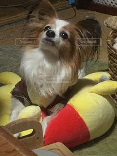 犬の写真・画像素材[405365]