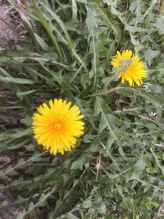 黄色の花の写真・画像素材[1065166]