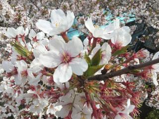 近くの花のアップの写真・画像素材[1112546]
