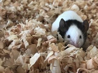 パンダマウスの写真・画像素材[1354565]