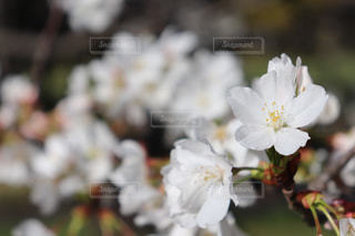 桜の花の写真・画像素材[1869189]