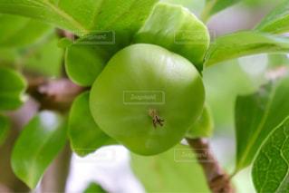 青い柿の実のクローズアップの写真・画像素材[2271085]