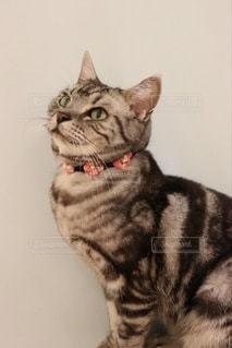 カメラを見ている猫の写真・画像素材[3331739]