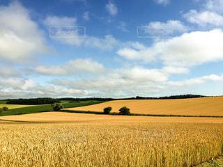麦畑の写真・画像素材[1271597]