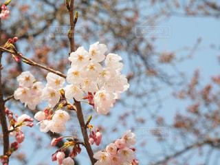 桜の写真・画像素材[404069]