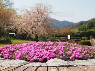 桜の写真・画像素材[431126]