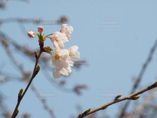 桜の写真・画像素材[438488]