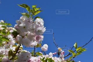 桜 - No.446811