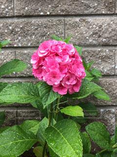 雨の紫陽花 - No.566120