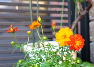 玄関の夏花の写真・画像素材[760066]