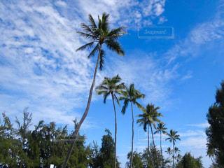 オアフ島のヤシの木の写真・画像素材[806463]