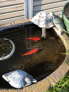 魚の写真・画像素材[413123]